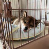 【対策】柴犬の室内飼いの匂いはどうしてる?気にならない?【臭い?】