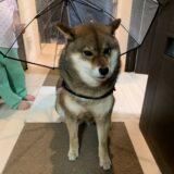 【要注意!】ペット用リード付傘を使用した感想レポ
