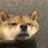 柴犬あずはなAmazonプライムデーのペット用品を語る