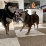 我が家の柴犬が多頭飼いで喧嘩をしない理由