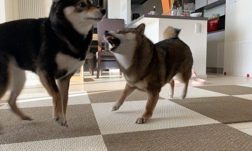 我が家の柴犬二頭が喧嘩をしない理由