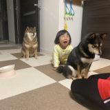 自分が柴犬ブログを書いている理由についてお話します!