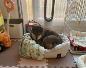 ニトリペットベッドホテルスタイルを与えられた柴犬