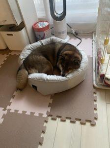 ニトリのペットベットで眠る柴犬