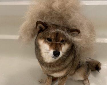 【柴犬の換毛期対策】2021年おすすめのブラシやグッズを紹介