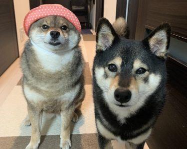 【年末対談】2020柴犬二人があずはな家の重大ニュースを振り返る
