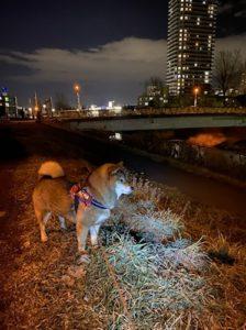 夜ライトに照らされた柴犬