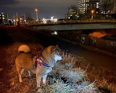 夜の犬の散歩にライトを持つのがオススメの理由
