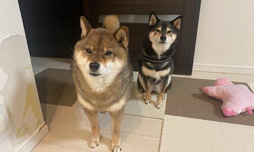 綺麗好きな柴犬に多い!犬が外でしかでオシッコやトイレをしない理由