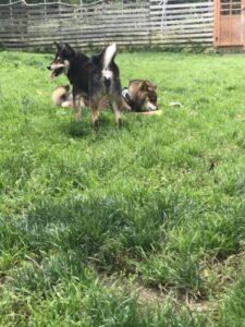 他の犬と仲良くできなくて身内で固まる柴犬2頭の様子