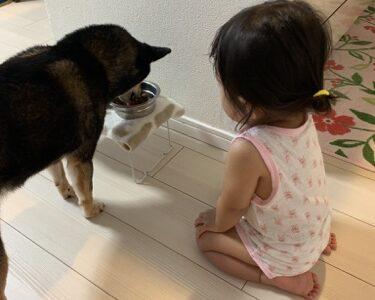 赤ちゃんがいても柴犬を飼うことはできる?体験してわかったこと。