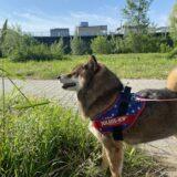柴犬の散歩回数は1日何回?長め?小型犬は?