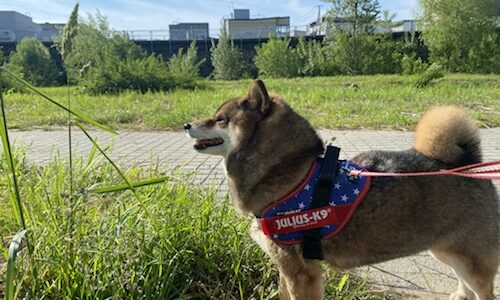 犬の散歩って1日何回必要?柴犬は長め?小型犬は?